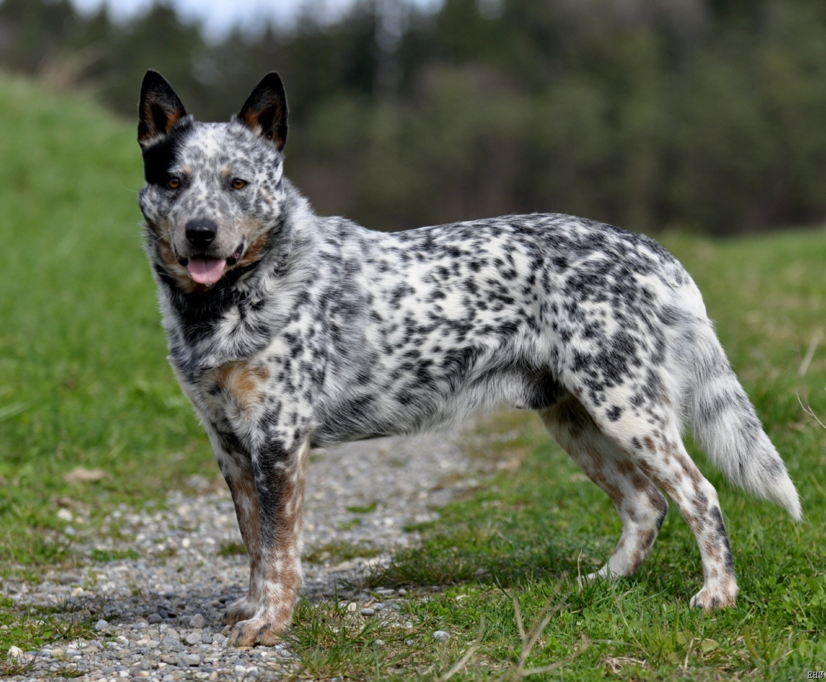1000+ images about Dogs on Pinterest | Australian cattle ...